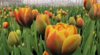 """Ketvirtis milijono lietuviškų tulpių """"Maximoje"""" skelbia pavasarį"""